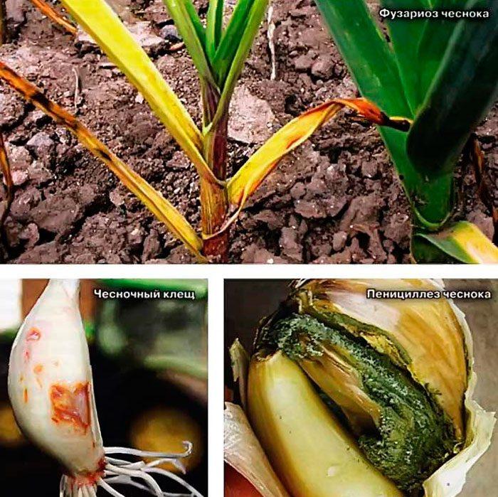 Болезни и вредители ярового чеснока