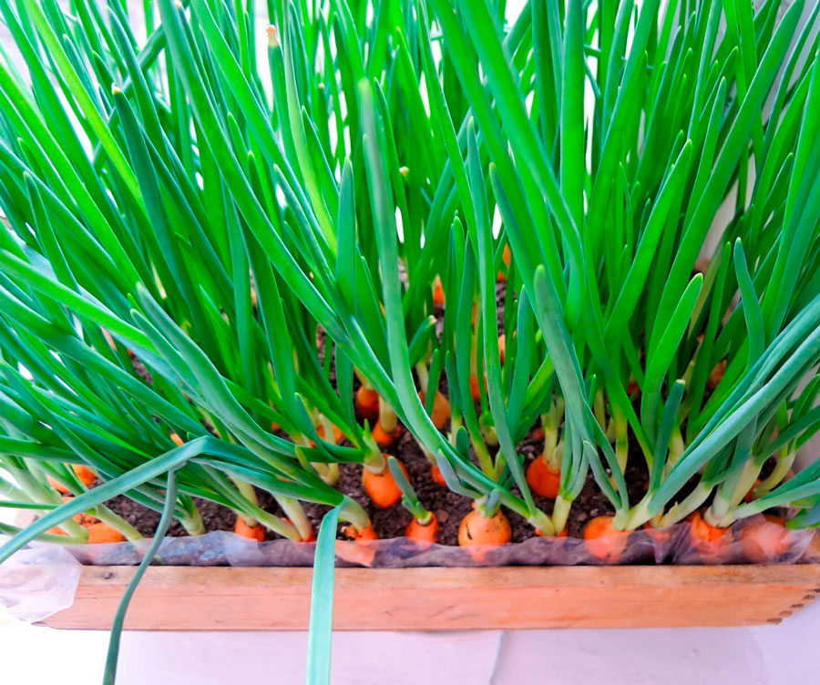 Сколько растет лук на перо в теплице