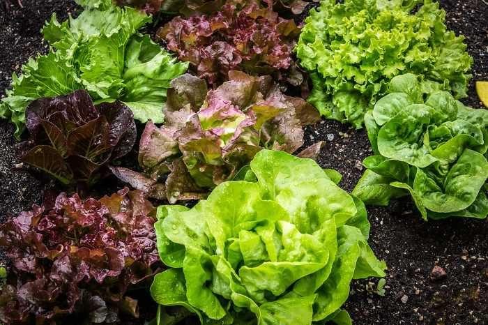 Уход за салатом в открытом грунте