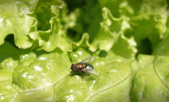 Салатная муха