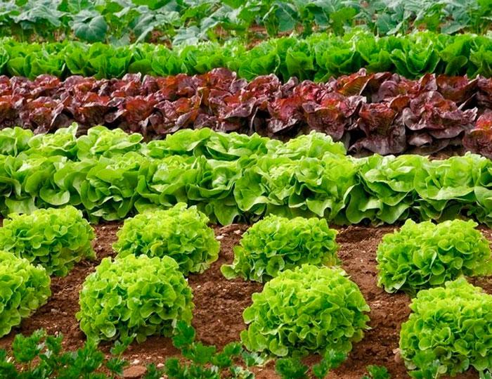 Салат это растение