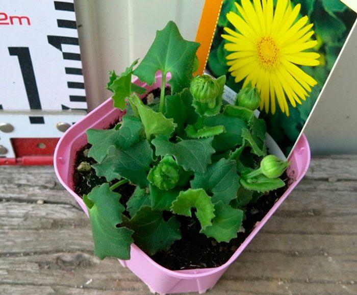 Выращивание дороникума из семян
