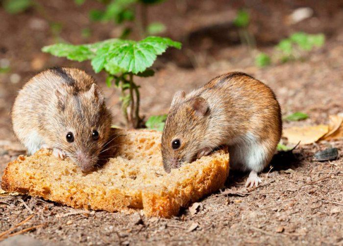 Полевки (полевые мыши)