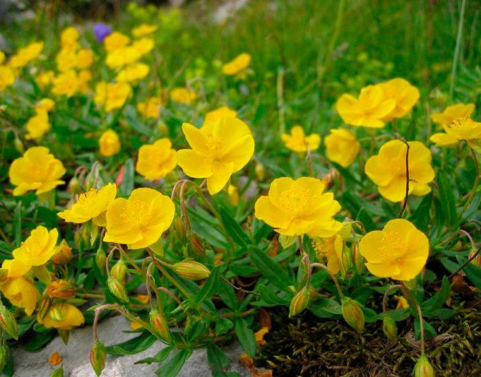 Выращивание солнцецвета из семян
