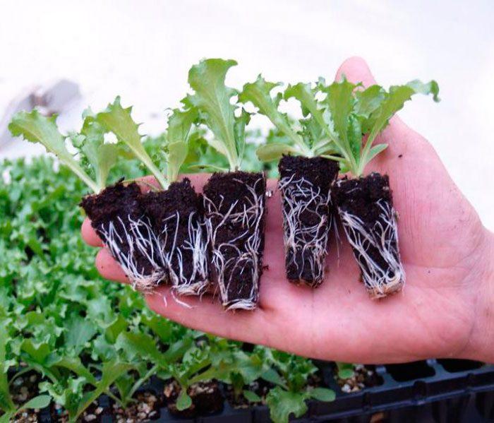Посев салата на рассаду