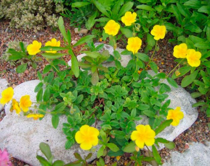 Уход за солнцецветом в саду