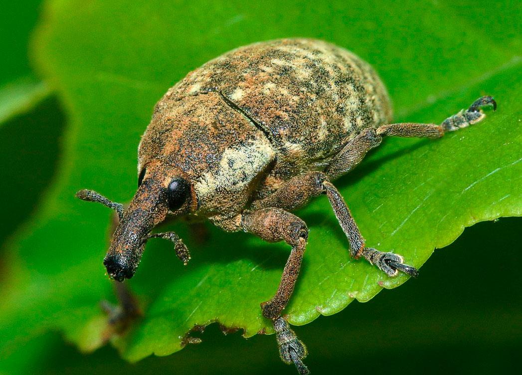 Жук долгоносик как избавиться от насекомого в доме