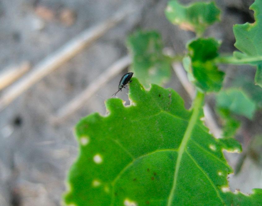 Чем опрыскать растения от крестоцветной блошки Эффективные препараты