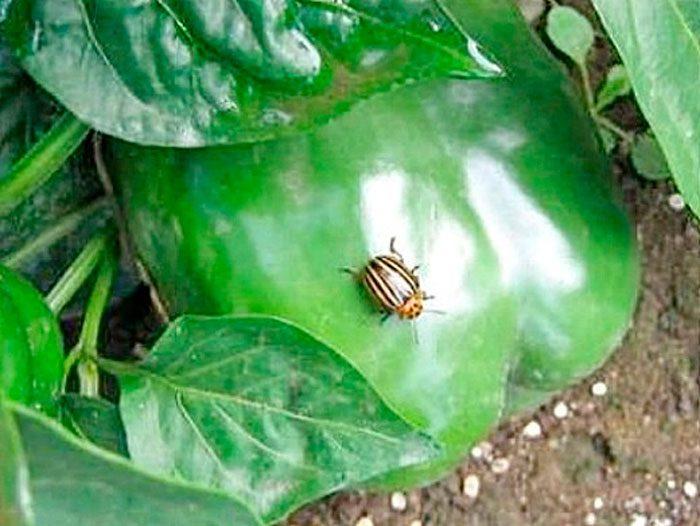 Колорадский жук на перце