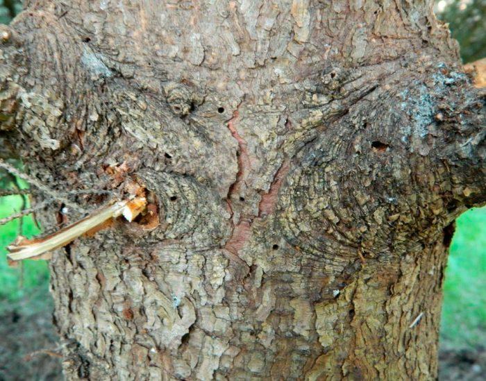 дерево поражено короедом