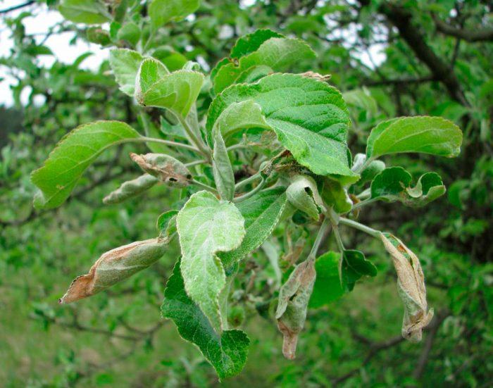 Листовертка на яблоне