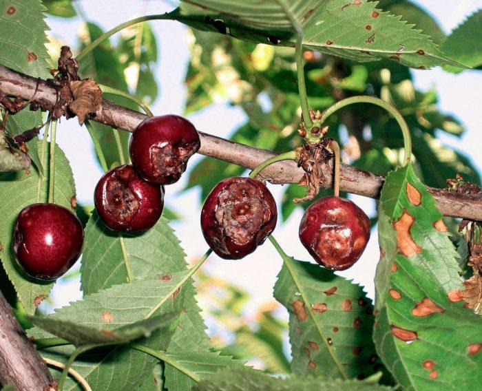 Антракноз вишни