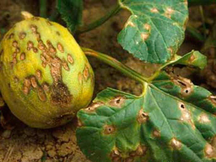 Антракноз арбуза и дыни