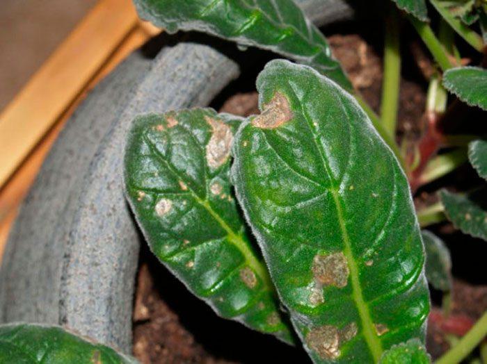 Бурая пятнистость на комнатных растениях