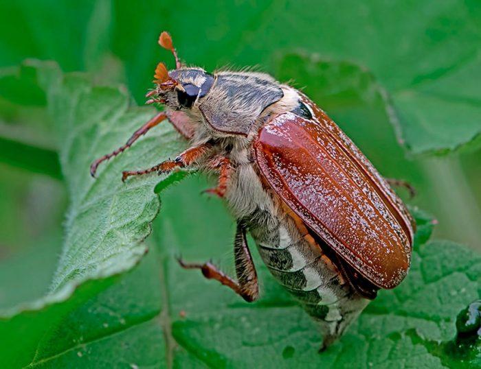 Борьба с майским жуком (хрущом)