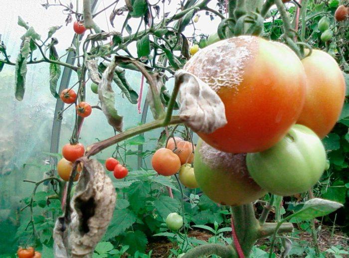 Белая гниль на помидорах