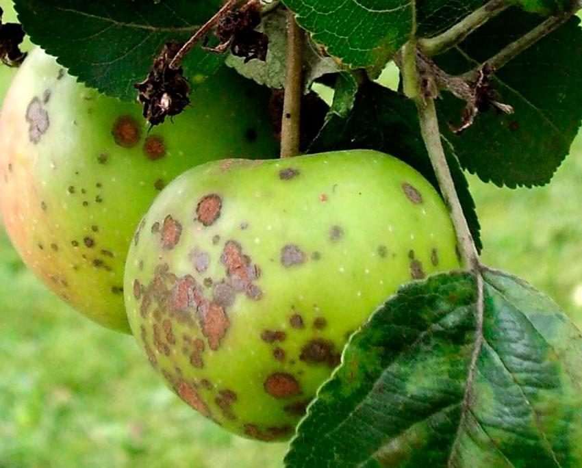 Парша на яблоне чем лечить