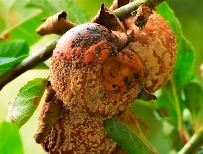 Груши и яблони