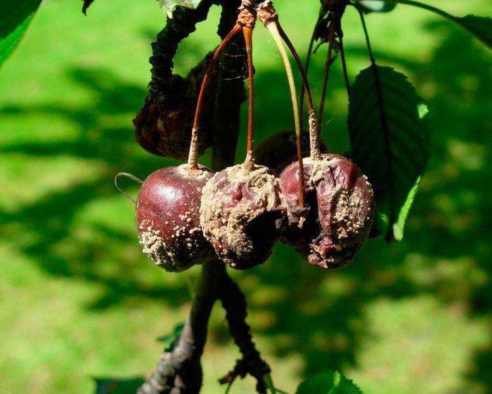 Черешня и вишня