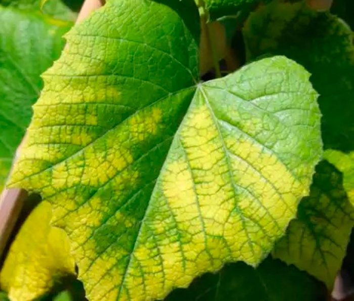 Хлороз винограда