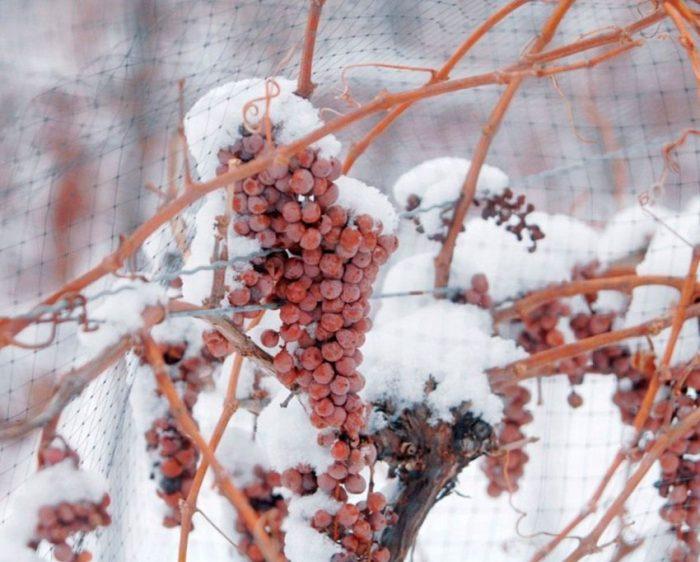 Укрытие винограда на зиму