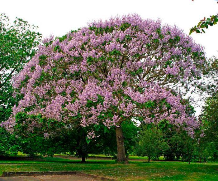 Сапфировое дерево