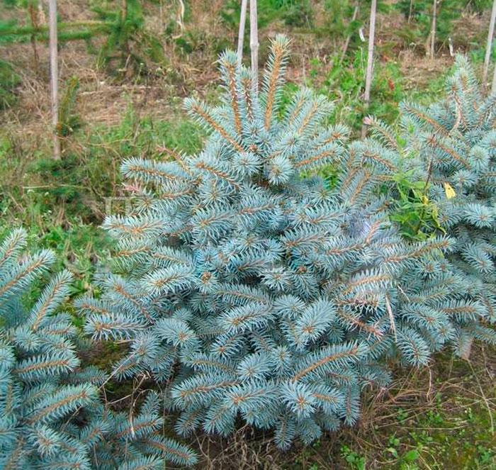 Picea pungens Blue Trinket