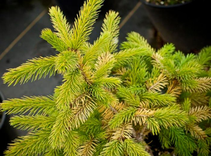 Picea pungens Stanley Gold
