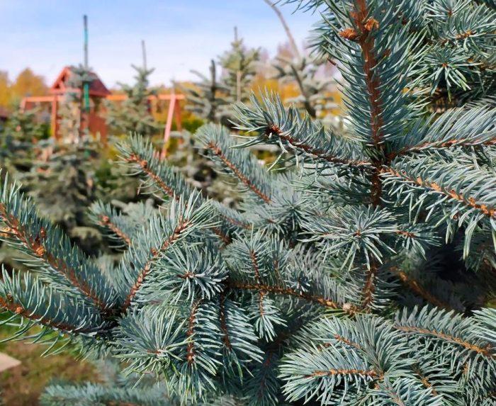 Picea pungens Jozsa