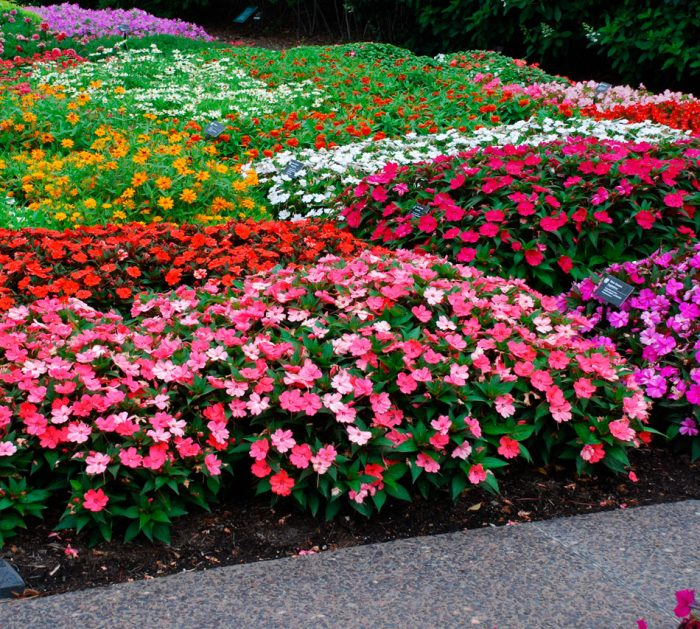 Низкорослые цветы для клумбы цветущие все лето