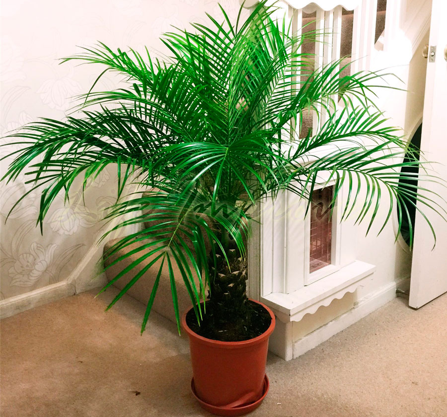 Выращиваем пальму с финиковой косточки в домашних  101