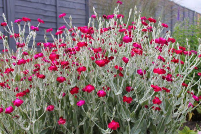 Выращивание из семян лихниса 554