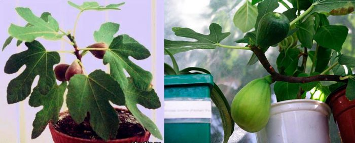 Как выращивать инжиру в домашних условиях 95