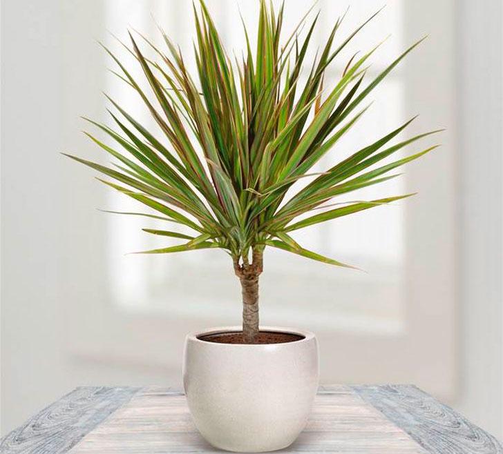 Пальмы и драцены в домашних условиях 355