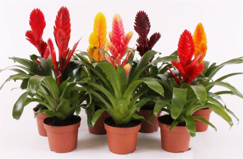 Цветок вриезия в домашних условиях