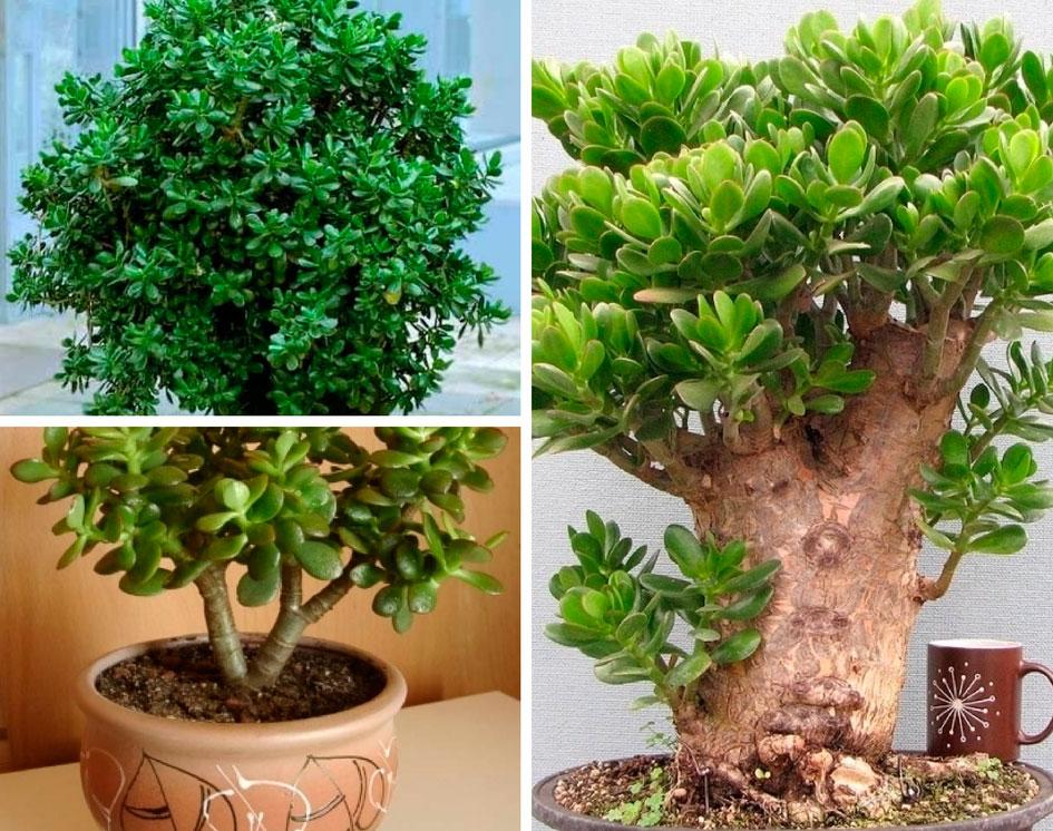 Как сделать так чтобы зацвело денежное дерево 39