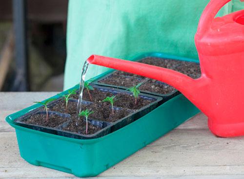 Как сажать семена бархатцев в открытый 929