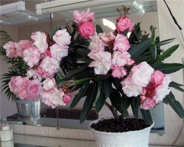 Олеандр выращивание и уход в домашних условиях  638