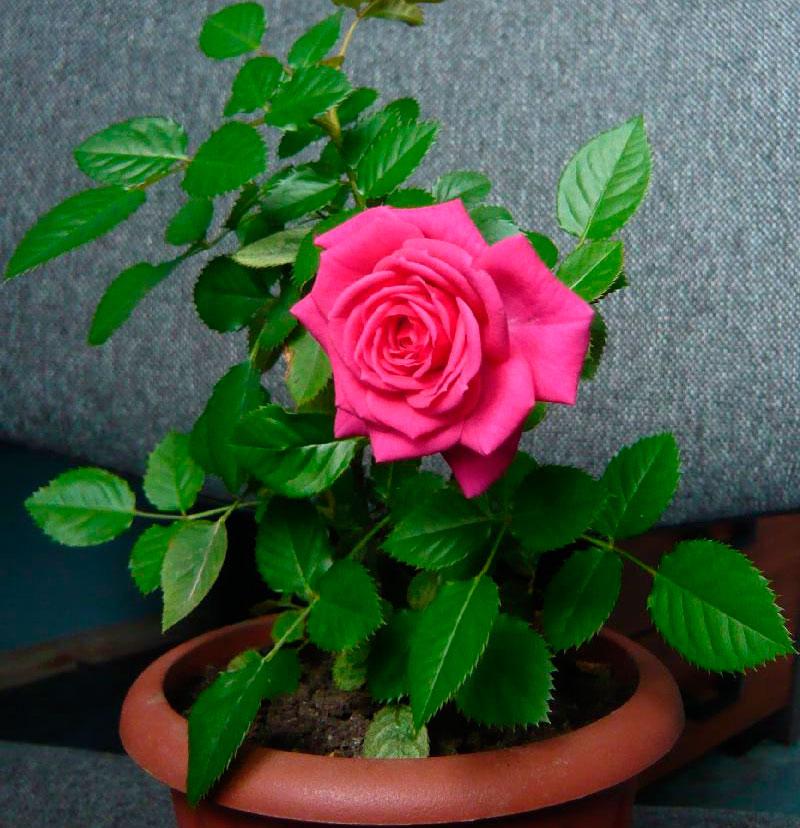 Уход в домашних условиях за розами