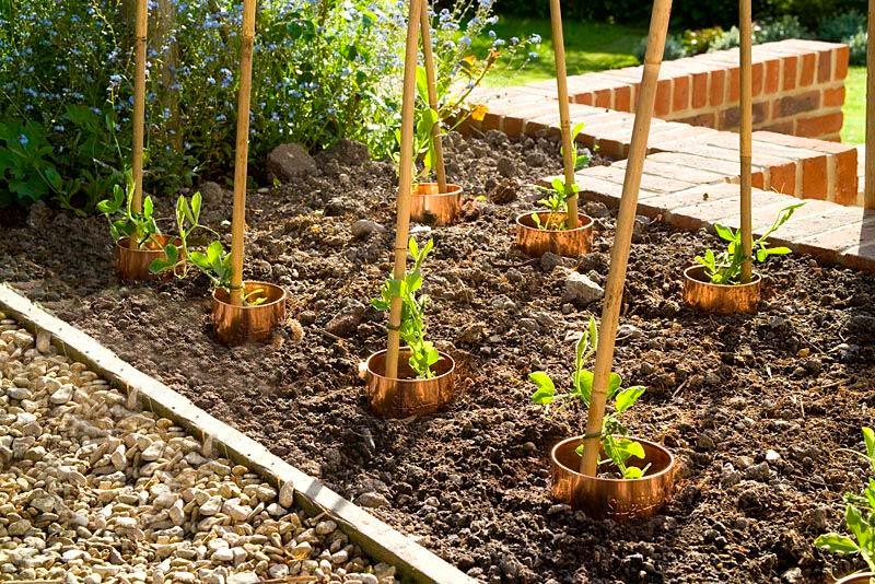 Выращивание душистого горошка в открытом грунте 52