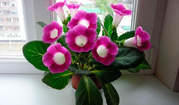 Цветы домашние глоксиния