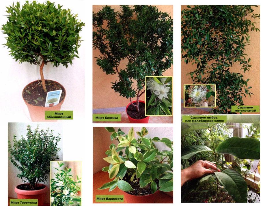 Мирт миртовое дерево уход в домашних условиях
