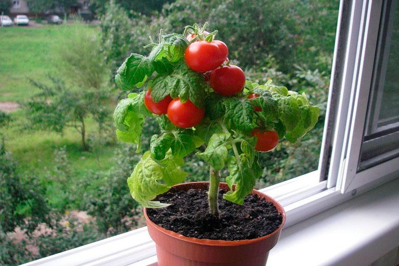 Зимнее выращивание томатов 39
