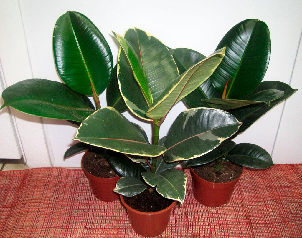 Цветущие комнатные растения фото и 28