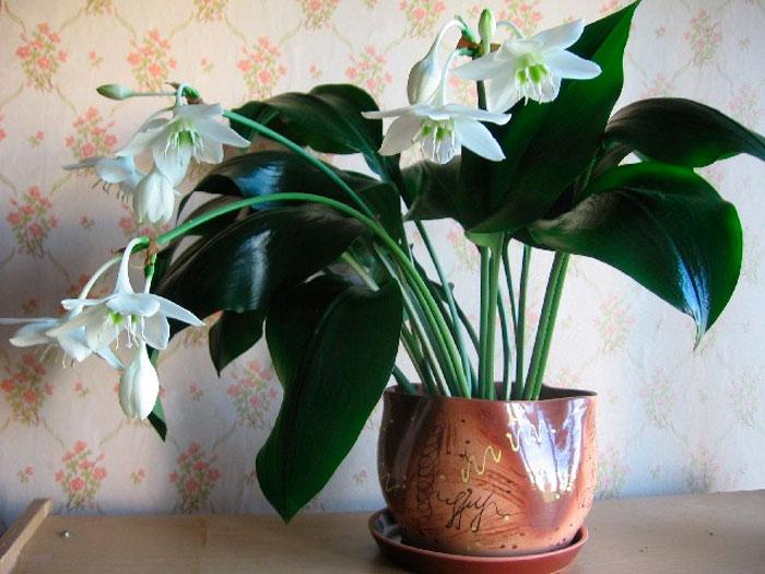 Амазонская лилия цветок домашний