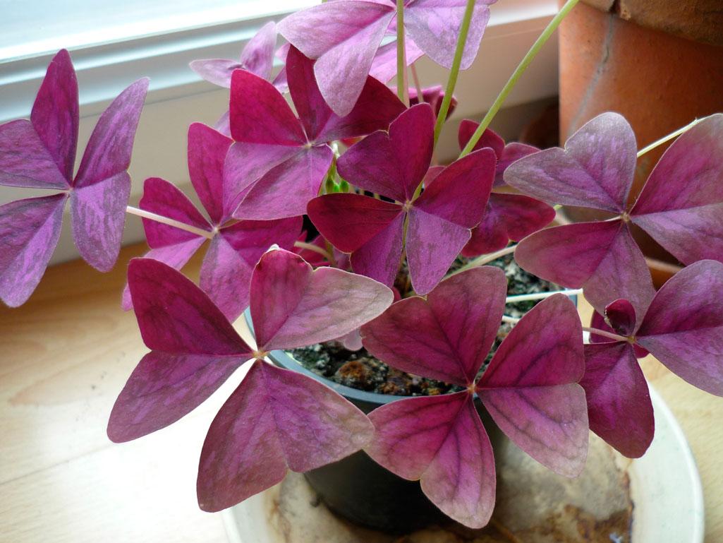 Цветок бабочка : уход, полив, фото, размножение и пересадка 24