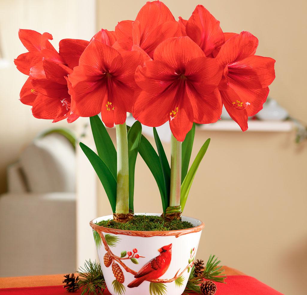 Цветок амариллис уход в домашних условиях
