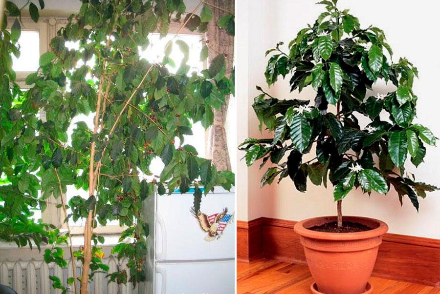Дерево кофе арабика в домашних условиях 691