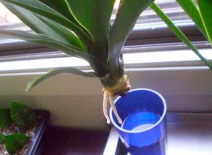 Фото как размножать юкку в домашних условиях