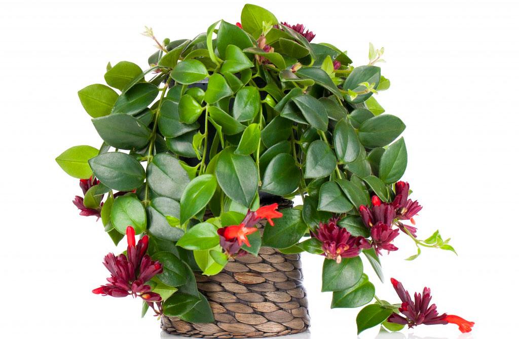 Комнатные цветы эсхинантус фото выращивание уход размножение 50